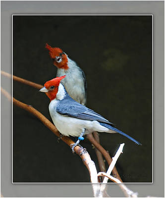 Red-crested Cardinal Poster by Walter Herrit