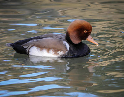 Poster featuring the photograph Red Crested Pochard by Tyson and Kathy Smith