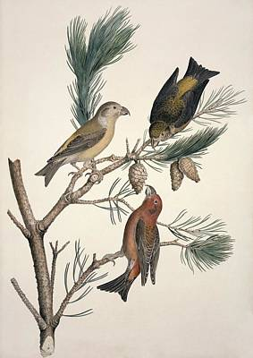Red Crossbill, 19th Century Poster