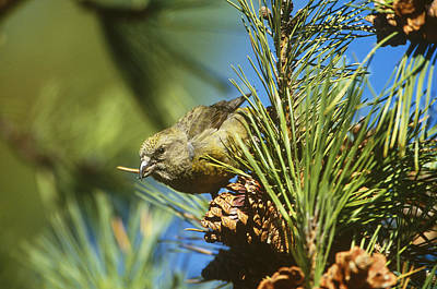Red Crossbill Eating Cone Seeds Poster