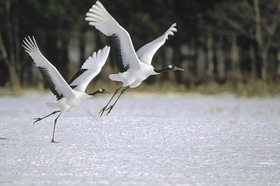 Red-crowned Crane Pair Courting Hokkaido Poster by Konrad Wothe