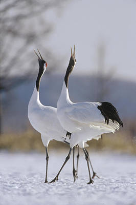 Red-crowned Crane Pair Courtsing Poster by Konrad Wothe