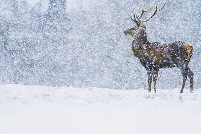 Red Deer Stag In Snowfall Derbyshire Uk Poster by James Shooter