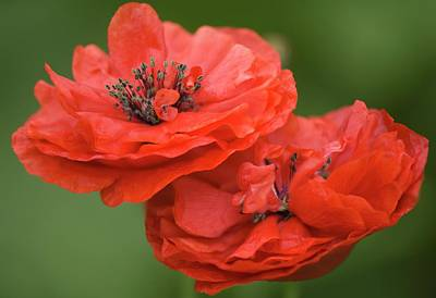 Red Double Shirley Poppies Poster