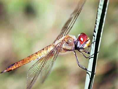 Red Dragonfly Eyes Poster