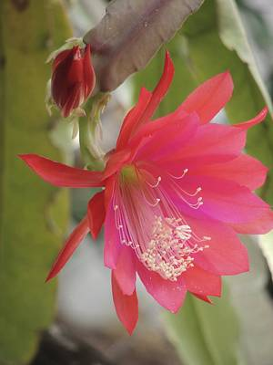 Red Epiphyllum Study Poster