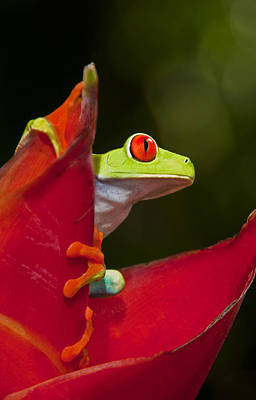 Poster featuring the photograph Red Eyed Tree Frog 3 by Dennis Cox WorldViews