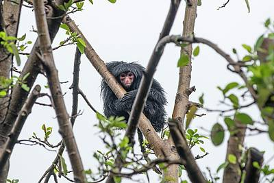 Red-faced Spider Monkey Poster by Pan Xunbin