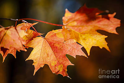 Red Fall Maple Leaves Poster by Elena Elisseeva