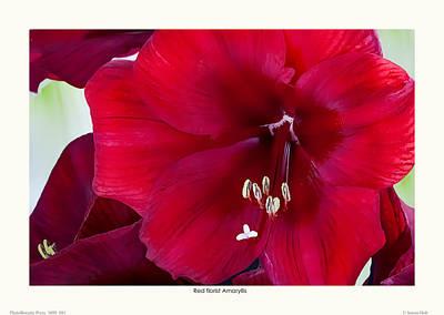 Red Florist Amaryllis Poster