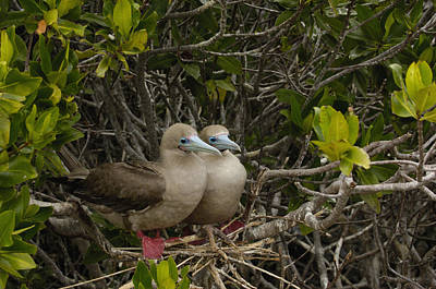 Red-footed Boobies Nesting Galapagos Poster by Pete Oxford