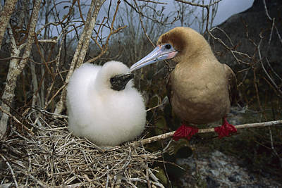 Red-footed Booby And Chick Galapagos Poster by Tui De Roy