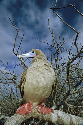 Red-footed Booby In Palo Santo Tree Poster by Tui De Roy