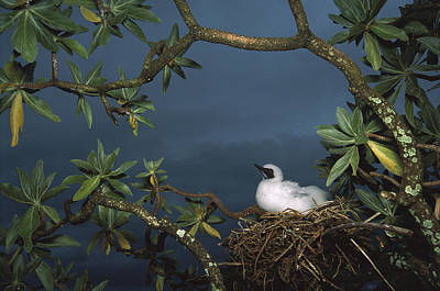 Red-footed Booby Nesting Palmyra Atoll Poster by Tui De Roy