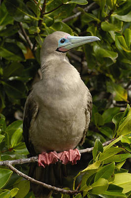 Red-footed Booby Portrait Galapagos Poster by Pete Oxford