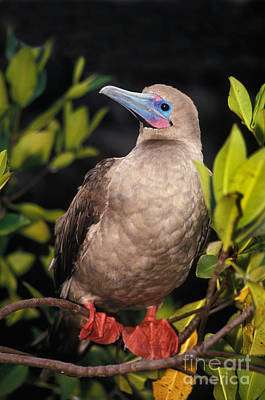 Red-footed Booby Sula Sula Poster by Ron Sanford