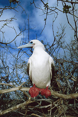 Red-footed Booby White Morph Galapagos Poster by Tui De Roy