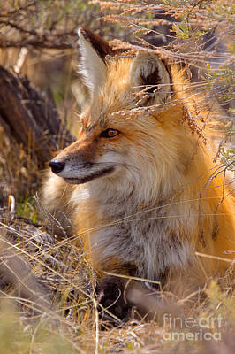 Poster featuring the photograph Red Fox At Rest by Aaron Whittemore