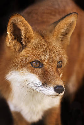 Poster featuring the photograph Red Fox  by Brian Cross