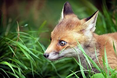 Red Fox Cub Poster by Alex Hyde