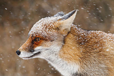 Red Fox In A Snow Storm Poster