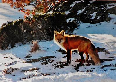 Poster featuring the photograph Red Fox In Winter by Diane Alexander