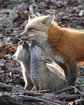 Red Fox Kits And Parent Poster