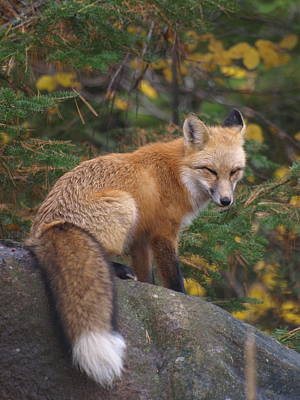 Poster featuring the photograph Red Fox by James Peterson