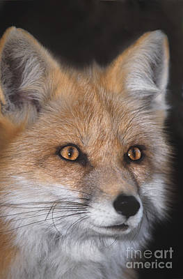 Poster featuring the photograph Red Fox Portrait Wildlife Rescue by Dave Welling