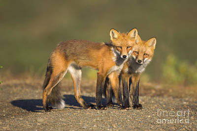 Red Fox Siblings In Denali  Poster by Yva Momatiuk John Eastcott