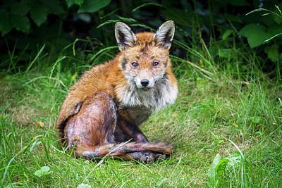Red Fox With Mange Poster