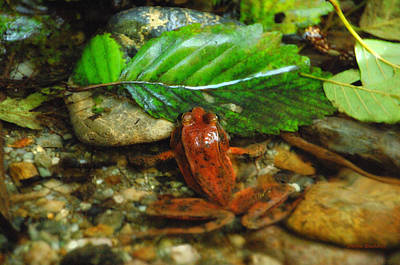 Red Frog Of Fern Canyon Poster