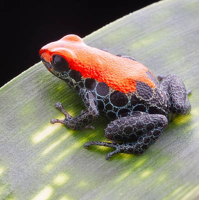 red frog Ranitomeya reticulata Poster