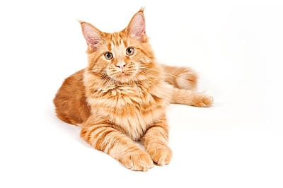 Red Fur Maine Coon Cat Poster by Marta Holka
