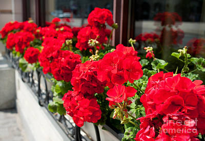 Bunches Of Vibrant Red Pelargonium Flowering  Poster by Arletta Cwalina