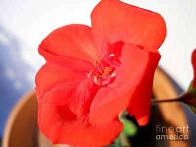 Red Geranium Poster by Ramona Matei