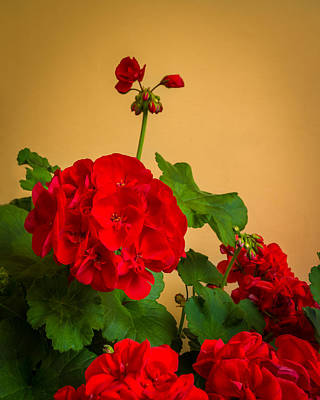 Red Geranium With Buds In Italy Poster