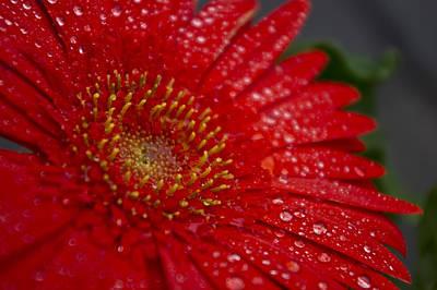 Red Gerber In The Rain Poster
