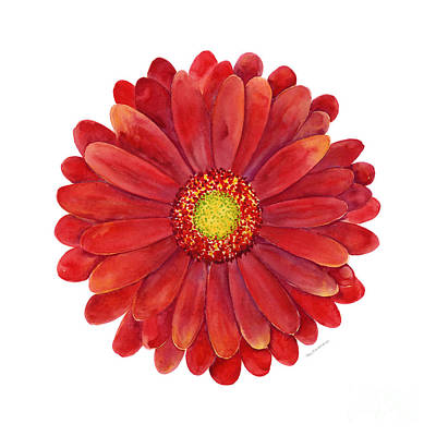Red Gerbera Daisy Poster by Amy Kirkpatrick