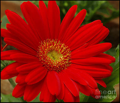 Red Gerbera Daisy Poster by James C Thomas