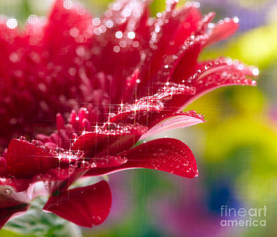 Red Gerbera  Flower Poster by Boon Mee