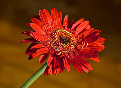 Red Gerbera Poster by Venetia Featherstone-Witty