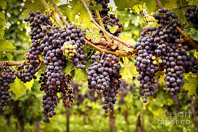 Red Grapes In Vineyard Poster by Elena Elisseeva