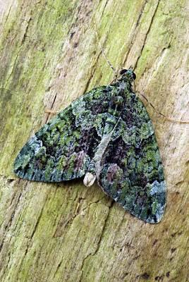 Red-green Carpet Moth Poster by David Aubrey