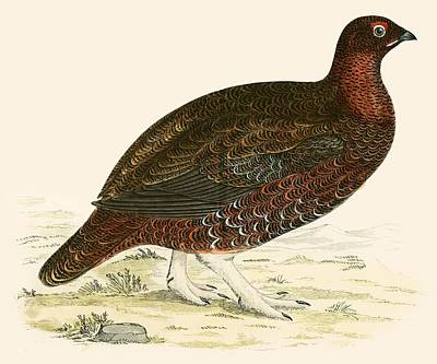 Red Grouse Poster by Beverley R Morris