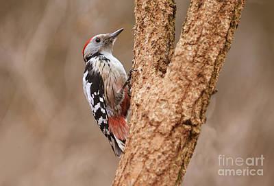 Red Head Woodpecker Poster by Jaroslaw Blaminsky