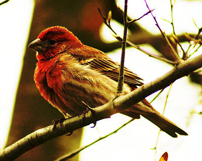 Poster featuring the photograph Red Headed House Finch by B Wayne Mullins