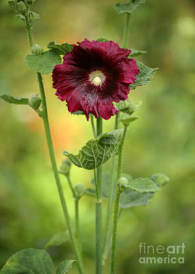 Red Hollyhock Poster