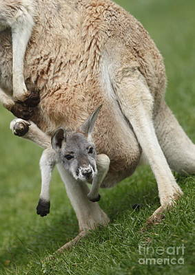 Red Kangaroo Joey Poster