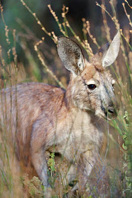 Red Kangaroo (macropus Rufus Poster by Martin Zwick